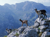 Picos De Europa  Goats Stand on a Ridgeline in the Picos De Europa  Spain