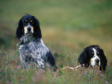 English Setters on the Moor  Caithness  Scotland