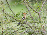 Hoopoe Perching on a Branch  Tarangire National Park  Tanzania