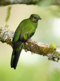 Close-Up of a Female Resplendent Quetzal Perching on a Branch  Savegre  Costa Rica