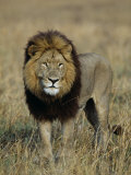 Kafue National Park  Mature Male Lion with Full Dark Mane on Busanga Plain  Zambia