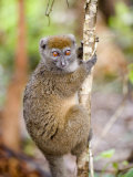 Eastern Lesser Bamboo Lemur Climbing a Tree  Lemur Island  Madagascar