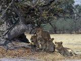 Pride of Lions in the Moremi Wildlife Reserve  Okovango Delta  Botswana
