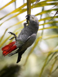 This African Grey Parrot is known as the Papa Gaio Do Principé
