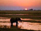 Elephant at Sunset on the Chobe River  Botswana