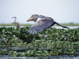 Rare Shoebill  or Whale-Headed Stork Lives in Papyrus Swamps and River Marshes