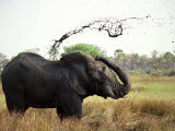 Elephant Sprays Mud from its Trunk over its Body to Cool Down