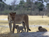 Lioness and Her Two Cubs Play on a Shaded Mound in the Moremi Wildlife Reserve