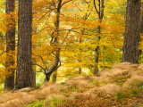 Woodland in Autumn  Scotland  UK
