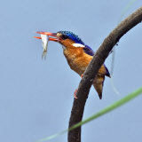 Katavi National Park  A Malachite Kingfisher with a Small Fish Caught in the Katuma River  Tanzania