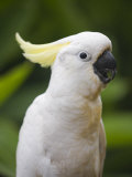 Queensland  Brisbane  Sulphur-Crested Cockatoo  Australia