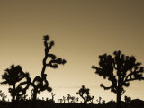 California  Joshua Tree National Park  Joshua Tree  Yucca Brevifolia  in Hidden Valley  Dawn  USA