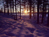 Sunset in Pine Forest in Jekkele  Sweden
