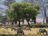 Common Zebra Browse on Grass in Lerai Forest on Crater Floor with Trees Behind