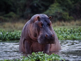 Zambezi River  Hippos Sitting in the Zambezi River  Zambia