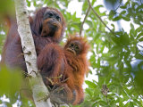 Wild Orangutans in Arboral Settings in Rainforest Near Sepilok  Borneo