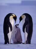 Weddell Sea  Riiser-Larsen Ice Shelf  Emperor Penguins and Chick  Antarctica