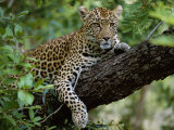 Female Leopard Rests in the Shade  Lying on the Branch of a Tree