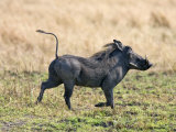 Katavi National Park  A Warthog Runs with its Tail in the Air  Tanzania