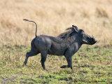 Katavi National Park, A Warthog Runs with its Tail in the Air, Tanzania Papier Photo par Nigel Pavitt