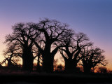 Dawn Sky Silhouettes from Grove of Ancient Baobab Trees  known as Baines' Baobabs  Botswana
