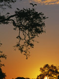 South Luangwa National Park  Yellowbilled Storks Return to Colony at Sunset  Zambia