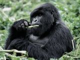 Male Mountain Gorilla  known as a 'silverback' Feeds in the Volcanoes National Park  Rwanda