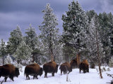 Idaho  Yellowstone National Park  Bison are the Largest Mammals in Yellowstone National Park  USA
