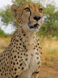 Erongo Region  Damarland  A Cheetah  Namibia
