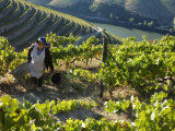 A Portuguese Woman Picks Grapes During the September Wine Harvest in Douro Valley  Portugal