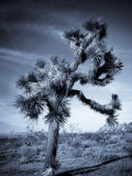 California  Joshua Tree National Park  Joshua Tree  Yucca Brevifolia  in Hidden Valley  USA