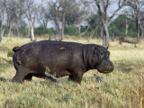 Hippo  with Red-Billed Oxpeckers (Tick Birds)  Grazes  Okavango Swamp Edge  Moremi Wildlife Reserve