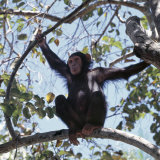 Chimpanzee Sitting in the Forest Canopy  Mahale Mountains  Eastern Shores of Lake Tanganyika