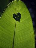 Tropical Leaves  Andromeda Gardens  Barbados