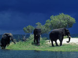 Zambezi River  Male Elephants under Stormy Clouds on the Bank of the Zambezi River  Zimbabwe
