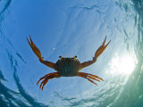 Djibouti  A Red Swimming Crab Swims in the Indian Ocean