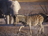 Burchells Zebra and Elephants at Waterhole
