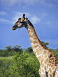 Male Giraffe in Etosha National Park  Namibia