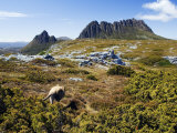 Tasmania  Peaks of Cradle Mountain and Wallaby Running Through Bush on Overland Track  Australia