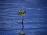 Emerging Mangrove  Seychelles