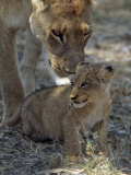 Lioness Keeps a Careful Eye on Her Cub in the Moremi Wildlife Reserve  Okavango Delta  Botswana