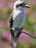 Australia New South Wales  A Kookaburra  a Large Terrestrial Kingfisher