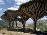 Endemic Dragon's Blood Trees Grow Among Socotran Desert Roses in the Homhil Mountains
