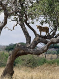 Lioness Surveys Her Surroundings from a Tree in the Tarangire National Park
