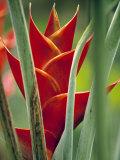 Helliconias  Rarotonga  Cook Islands