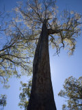 Giant Gum Tree in Tasmania  Some Grow over 100M Hiugh and are the Tallest Hardwood Trees in World