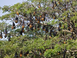 Burma  Rakhine State  Fruit Bats Spend the Day Hanging from the Branches of Large Trees  Myanmar