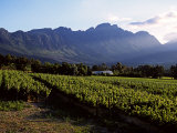 Vineyard at Franschoek  Western Cape  South Africa