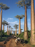 Avenue of Baobabs with Ox-Drawn Carts