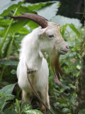Goat in Sao Tomé and Principé  Africa's Second Smallest Country